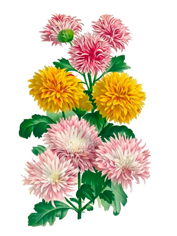 Chrysanthemum ssp